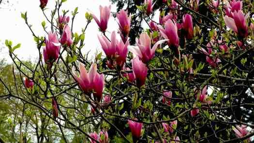 magnolias-roses-arboretum-grande-lienne